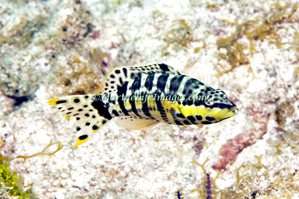 Harlequin Bass inhabit low profile reefs, areas of coral rubble and sea grass beds in Tropical West Atlantic; picture taken Key Largo, FL.