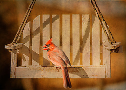 A cardinal lands on my swing feeder late in the evening light