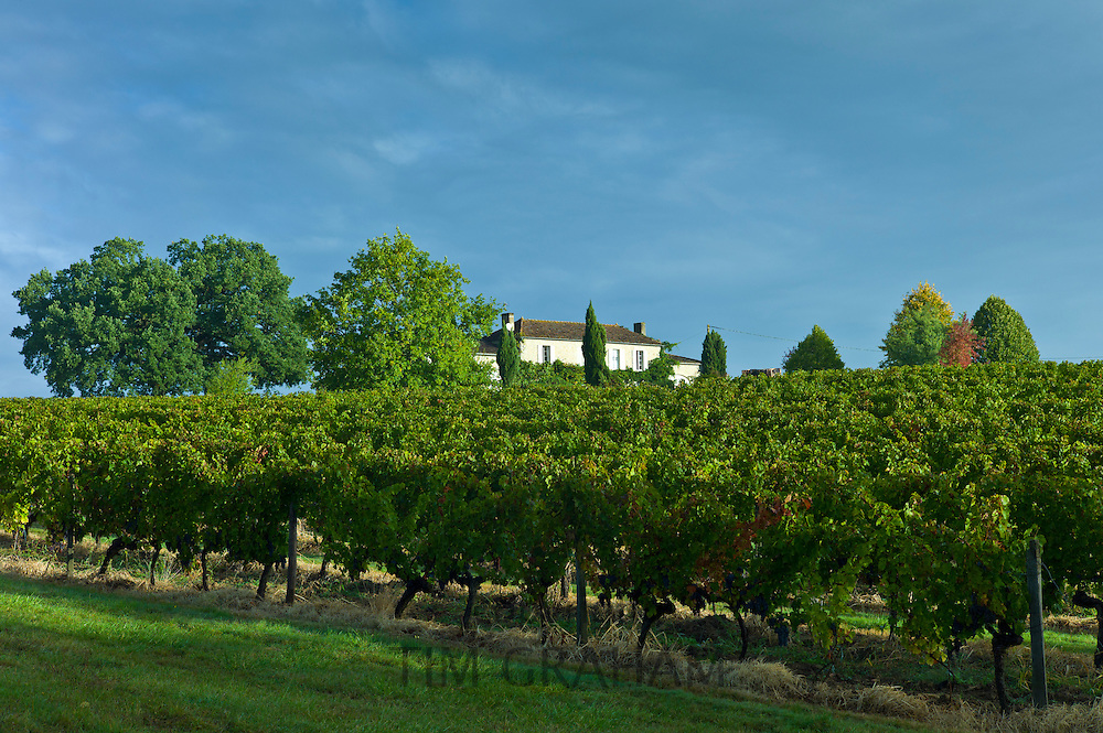 Chateau Fontcaille Bellevue with Cabernet Sauvignon grapes on vines, in Bordeaux region of France