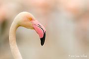Pink flamingos, Flamingos, Pink Flamingos fine art photo, pink flamingos photography, flamingo photo,
