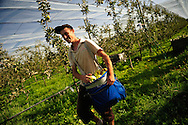 Récolte de la Reinette du Vigan, cultivée en BIO, sous filet anti-grêle.