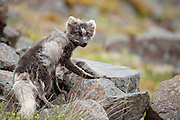 Arctic fox in East-Iceland. After a lot of running and mountain climbing this wild fox gave a good opportunity for a photo.
