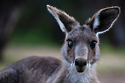 Eastern Grey Kangaroo, with an injured or sick eye  at Tom Groggins, Mount Kosciuszko National Park