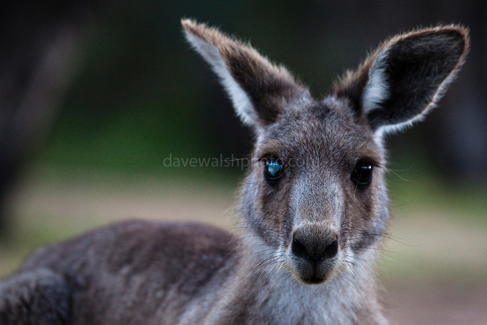Eastern Grey Kangaroo, with an injured or sick eye  at Tom Groggins, Mount Kosciuszko National Park