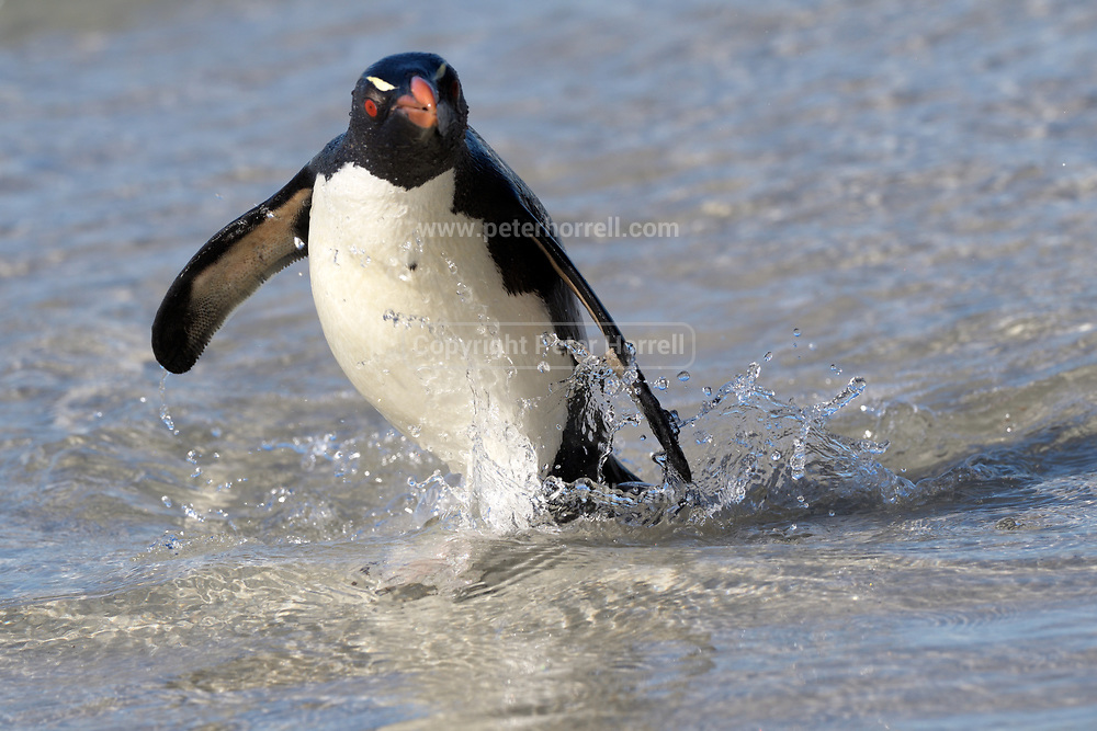 A Southern Rockhopper penguin (Eudyptes chrysocome chrysocome) emerges from the sea on Saunders Island on Sunday 4th February 2018.