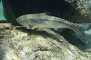 Chinook Salmon (male)<br /> <br /> Todd Pearsons/Engbretson Underwater Photography