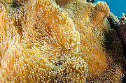 Carpet anemone (Stichodactyla sp.)<br /> Fiji. South Pacific