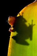 Porto Seguro_BA, Brasil...Reserva Particular do Patrimonio Natural Estacao Vera Cruz (RPPN), na foto um anfibio na bromelia...The Private Reserve of Natural Heritage Estacao Vera Cruz (RPPN), in this photo a amphibian on the bromeliad. ..Foto: JOAO MARCOS ROSA / NITRO