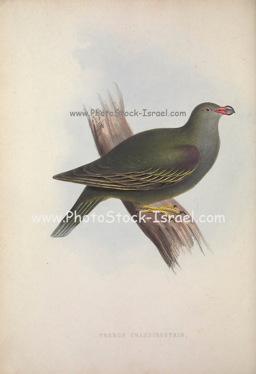 thick-billed Pigeon (Treron crassirostris) from Zoologia typica; or, Figures of new and rare animals and birds described in the proceedings, or exhibited in the collections of the Zoological Society of London. By Fraser, Louis. Zoological Society of London. Published London, March 1847