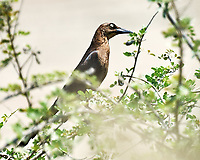 Female Great-tailed Grackle (Quiscalus mexicanus). Crooked Tree Wildlife Sanctuary. Image taken with a Nikon D3x camera and 70-300 mm VR lens