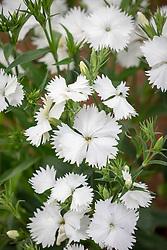 Dianthus barbatus 'Festival White' (Festival Series).<br /> Sweet william.