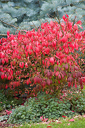 Euonymus alatus 'Compactus' AGM - Winged spindle -  in front of Abies concolor 'Violacea' - Silver fir