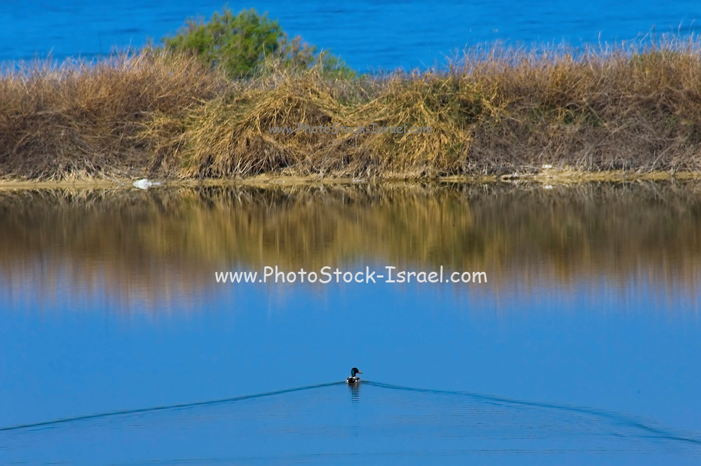 Israel, Kibbutz Maagan Michael, a duck swimming in the fish pond birds are considered a pest for fisheries yet in Israel, an equilibrium has been reached taking into account the needs of the birds and the industry