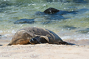 Hawaiian monk seal, Neomonachus schauinslandi ( Critically Endangered endemic species ), mother nuzzles five day old pup, Kalaupapa, Molokai, Hawaii, USA