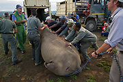 Black Rhinoceros (Diceros bicornis) loading into crate for road transportation<br /> Great Fish River Nature Reserve, Eastern Cape Province<br /> SOUTH AFRICA<br /> A viable breeding population of 15 animals being relocated to an undisclosed destination.<br /> ENDANGERED SPECIES. CITES 1