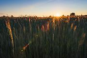 Sunset shines golden light ocer wheat field, near Limbaži, Vidzeme, Latvia Ⓒ Davis Ulands | davisulands.com