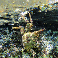 A crab on a reef in Cayos Cochinos, or the Hog Islands, located between Utila and Roatan off the coast of Honduras.  May, 2009. (Photo/William Byrne Drumm)