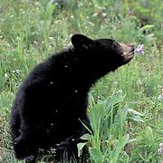 Black Bear, (Ursus americanus) Cub in Montana. Rocky mountains.  Captive Animal.