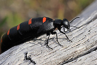 """Red-striped Oil beetle, (Meloe majalis) or """"The Spanish Fly"""", in Dehesa forests with Holm oak (Quercus ilex)  and  French lavender (Lavandula stoechas) in Campanarios de Azába nature reserve, Salamanca Region, Castilla y León, Spain"""