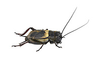 Field Cricket - Gryllus campestris<br /> male