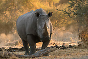 Porrait of a white rhinoceros, Ceratotherium simum.