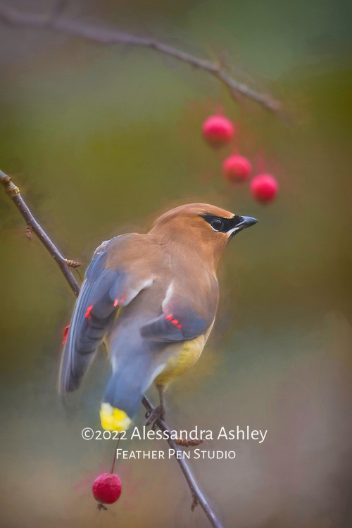 Cedar waxwing attempts to reach the red berries just beyond its perch.  Painted effects lightly blended with original photo.