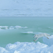Arctic Fox (Vulpes lagopus) jumping over water pockets along the shores of Hudson Bay.