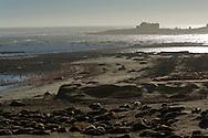 Elepahnt Seals on beach at Ano Nuevo State Reserve, San Mateo County coast, California