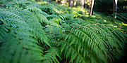Fern detail, Watagan Mountains, Lake Macquarie, NSW, Australia