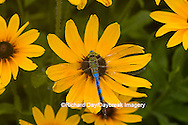 "06361-006.03 Common Green Darner (Anax junius) male on Black-eyed Susan (Rudbeckia hirta ""Indian Summer"") Marion Co.  IL"