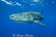 whale shark ( Rhincodon typus ) and snorkelers, Kona Coast of Hawaii Island ( the Big Island ) Hawaiian Islands, USA ( Central Pacific Ocean )
