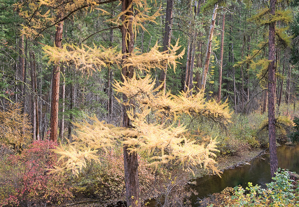 Autumn Larch, Oregon