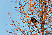 Common grackle (Quiscalus quiscula)<br />Winnipeg<br />Manitoba<br />Canada