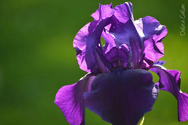 Tall Bearded Iris