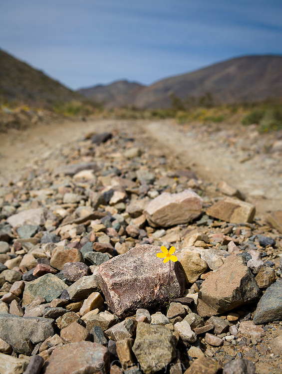 Lone spring wildflower on backcountry road, Death Valley, California