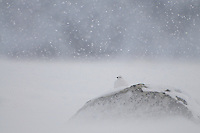 Rock Ptarmigan, (Lagopus muta)  dovrefjell national park , norway, february,