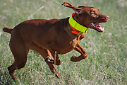 SHOT 5/9/20 8:49:16 AM - Various pointing breeds compete in the Vizsla Club of Colorado Licensed Hunt Test Premium at the Rocky Mountain Sporting Dog Club Grounds in Keenesburg, Co. (Photo by Marc Piscotty / © 2020)