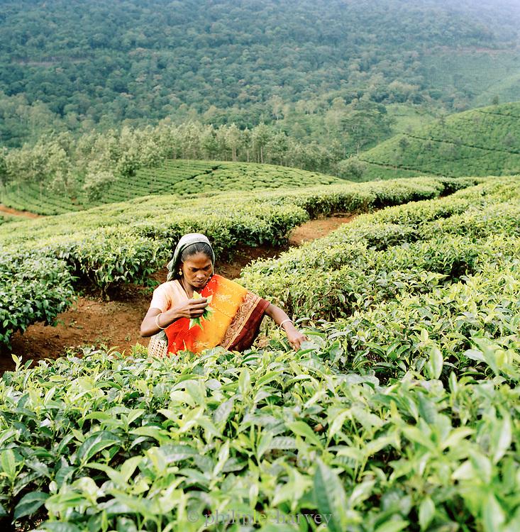 Tea Picker, Kerala, India.