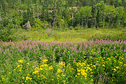 Tansy ((Tanacetum vulgare)) and fireweed (Epilobium sp.) blossoms at edge of boreal forest. <br />