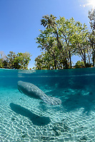 Split- level image showing a manatee entering the freshwater springs. Its swimming towards the Pretty Sister Spring sanctuary. This is a recent image from March 2018. Florida manatee, Trichechus manatus latirostris, a subspecies of the West Indian manatee, endangered. Three Sisters Springs, Crystal River National Wildlife Refuge, Kings Bay, Crystal River, Citrus County, Florida USA. IUCN Red List: Endangered. USFWS implemented downlisting to Threatened 2017: http://www.iucnredlist.org/details/22106/0. Taken under USFWS SUP Permit