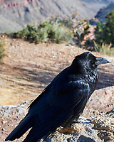 Common Raven (Corvus corax). Grand Canyon National Park, Arizona. Image taken with a Nikon D3s camera and 80-400 mm VRII lens.