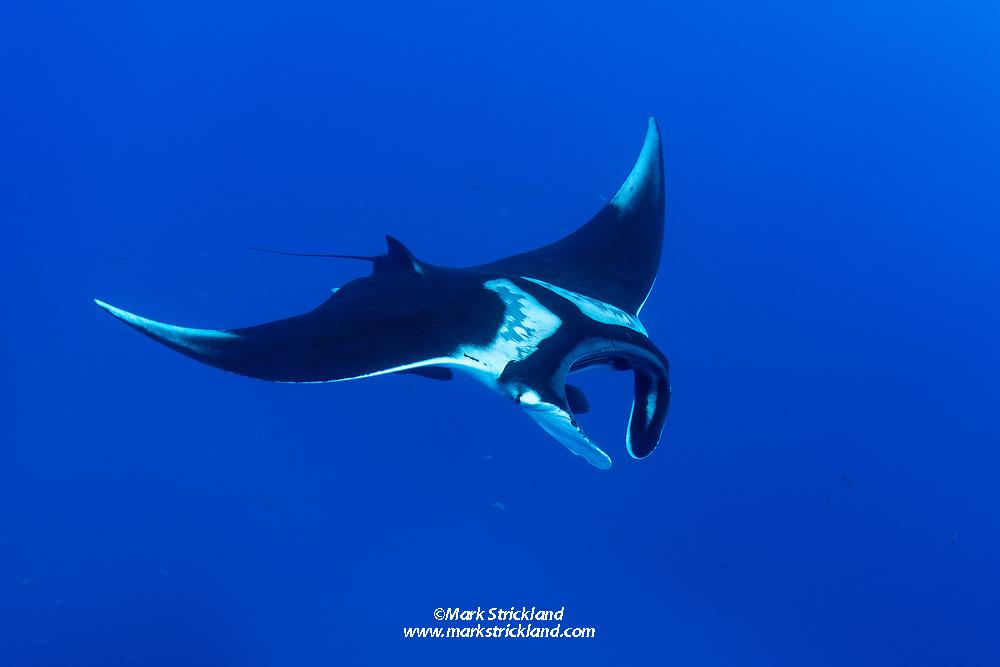 Giant Manta, Manta birostris, San Benedicto Island, Revillagigedos Archipelago, Mexico, Pacific Ocean