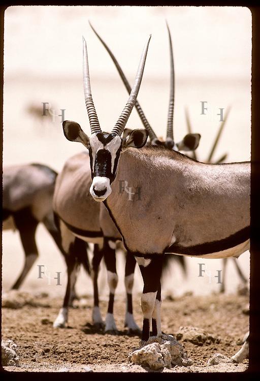 Oryx (gemsbok) looks toward camera amid herd in Kalahari Gemsbok National Park. South Africa