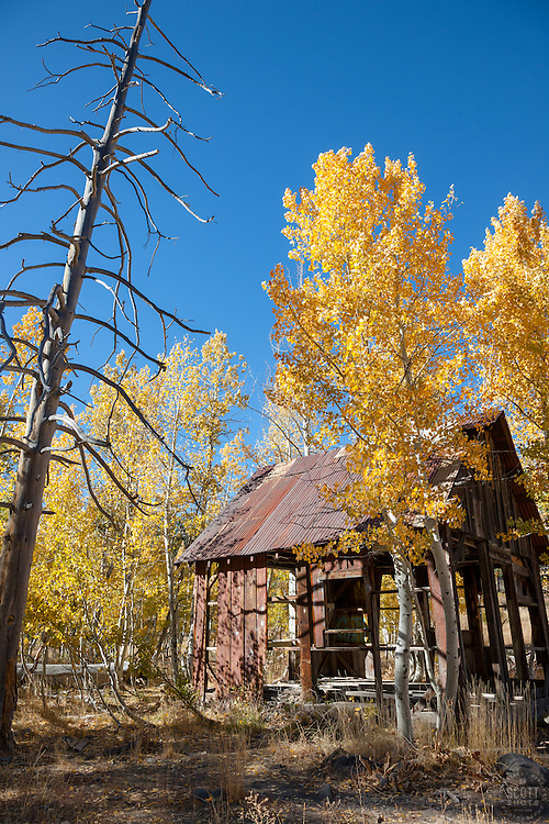 """""""Shack in the Aspen 2"""" - This old shack and yellow aspen were photographed in the fall, near the Hwy 267 summit between Truckee and Lake Tahoe."""
