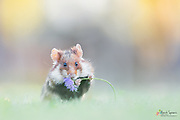 A wild and rare European hamster [Cricetus cricetus] in the evening light.