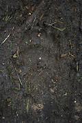 Footprints of brown bear (Ursus arctos) on muddy forest road, Vidzeme, Latvia Ⓒ Davis Ulands | davisulands.com