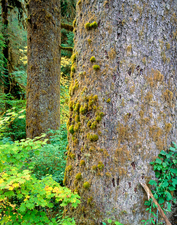 Old-growth Sitka Spruce,Hoh Rain Forest,Olympic National Park, Washington