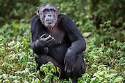 Female chimp, Ndyakira, is photographed at the Ngamba Island Chimpanzee Sanctuary in Lake Victoria, Uganda. Ndyakira, who has been on Ngamba Island since 2002, has a bald forehead and little hair around her face. Ndyakira means' I will survive' in Rutoro. She was named after a very famous environmental journalist in Uganda who helped in uncovering the story of the four chimps that traveled to Russia and eventually to Uganda (some of whom are now at Ngamba). Ndyakira was confiscated from dealers in Kampala. After being informed that someone was trying to sell an infant chimp, CSWCT with the assistance of the Wildlife Authority, arranged a sting operation and successfully rescued Ndyakira.<br /> On arrival Ndyakira was underweight, had a very poor appetite, dull hair all symptoms of poor nutrition. She was both psychologically and physically unhealthy. She happily integrated into the group and loves being in the trees while in the forest. She has an average hierarchy especially in her age group.  03/15 Julia Cumes/IFAW