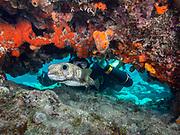Pufferfish on Molasses Reef, Key Largo, Florida