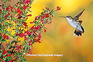01162-063.20 Ruby-throated Hummingbird (Archilochus colubris) female on Lady-in-Red Salvia (Salvia coccinea) Shelby Co. IL